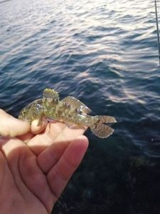 Gobie à Taches Noires — Adrien fishingriverandsea