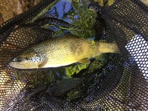 Brown Trout — Matthis Tessonneaud