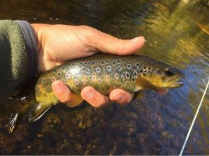 Brown Trout — Yannick Riviere
