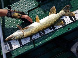 Northern Pike — Djibril skatefish