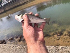 Spotted Seabass — Thierry Fournal