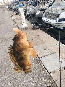 Brown Scorpionfish — Petit Samourai