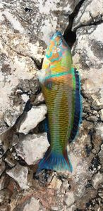 Ornate Wrasse — Dylan Colombo