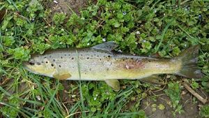 Brown Trout — Paul Duboeuf