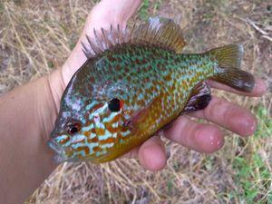 Green Sunfish — Samuel Le Calvez