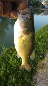 Largemouth Bass — Laurent Pignol