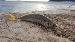 Mediterranean Horse Mackerel — Sebastien Fisher