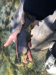 Brown Trout — Maxou pescadou