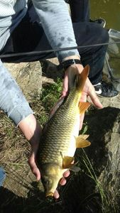 Common Carp — Armand Rigaux