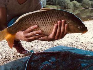 Common Carp — Alexandre Linderme
