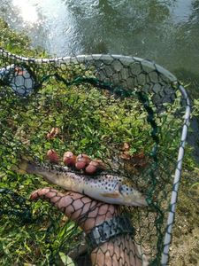 Brown Trout — Alessandro Bet