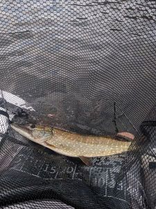 Northern Pike — Gael Mombeuil