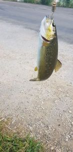 Brown Trout — Kevin Junod