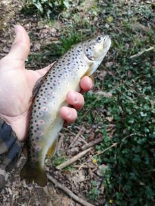 Brown Trout — Flavio Couppey