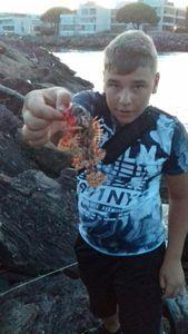 Brown Scorpionfish — Carna Saone