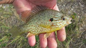 Green Sunfish — Mich  Pêche