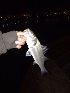 European Bass — Dam Perherin