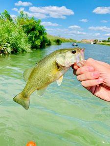 Largemouth Bass — Jordan Gamet