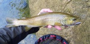Brown Trout — Chris Str