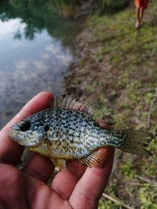 Green Sunfish — Adrien fishingriverandsea