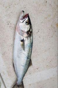 Bluefish — Sebastien Fisher