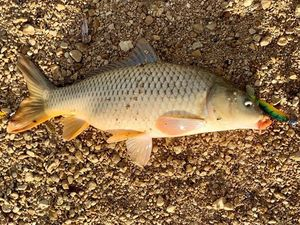 Common Carp — Julien Pipel