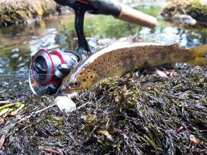 Brown Trout — Jeremy BARRAGAN