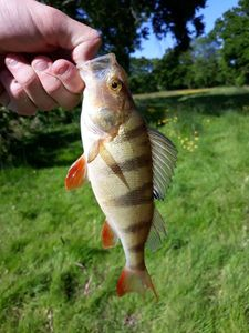European Perch — Marius Rabeuzantay