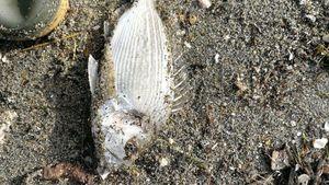 Black Seabream — Dume  Tomasi