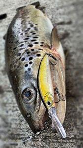Common Trout — Hicham Jost