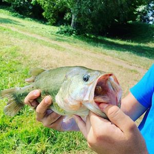 Largemouth Bass — Bell Clery