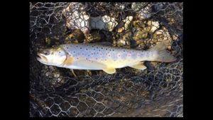 Brown Trout — Thibault Schmitt