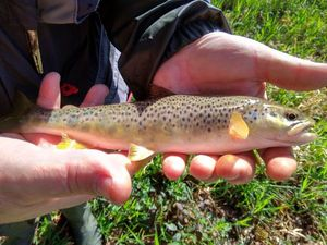Brown Trout — Stevan _56