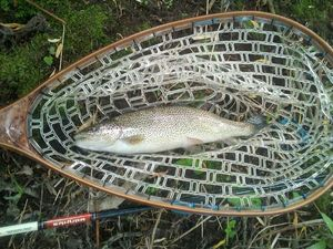 Rainbow Trout — Quentin Coulonval