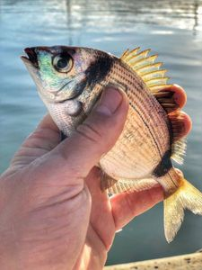 Common Two-banded Seabream — Benny Heat