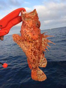 Red Scorpionfish — Cedric surgelés