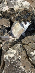 Common Two-banded Seabream — Dylan Colombo