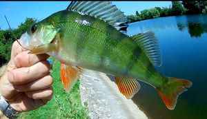 European Perch — CarnaFiF Fishing