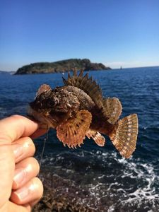 Brown Scorpionfish — Benny Heat