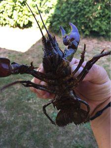 Spinycheek Crayfish — Ludo Monnet
