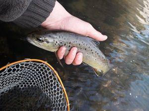 Brown Trout — Erwan Fishing