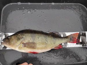 European Perch — Arnaud Desaivres