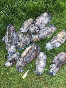 Common Cuttlefish — Matthieu Cormier