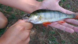 European Perch — Lucas Fishing