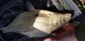 Common Bream — Rudy Lemaire