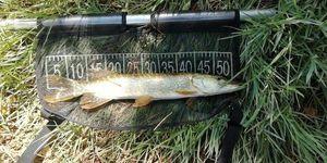 Northern Pike — mordu fish