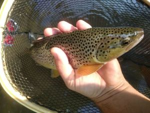 Brown Trout — Krys Ztoff