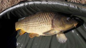 Common Carp — Mich  Pêche