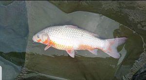 Koï Fish — Evan Contacolli