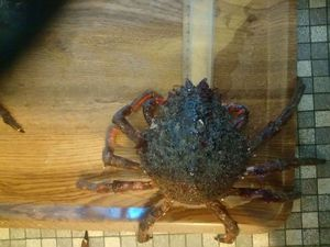 European Spider Crab — Christophe Vallé